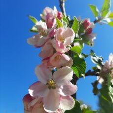 Plant for the Planet – Die Apfelbäume blühen
